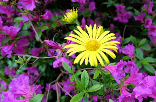 Violet Azalea and Yellow Daisy
