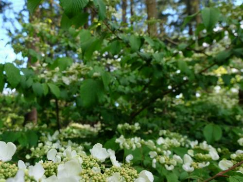 Foilage and White flowers